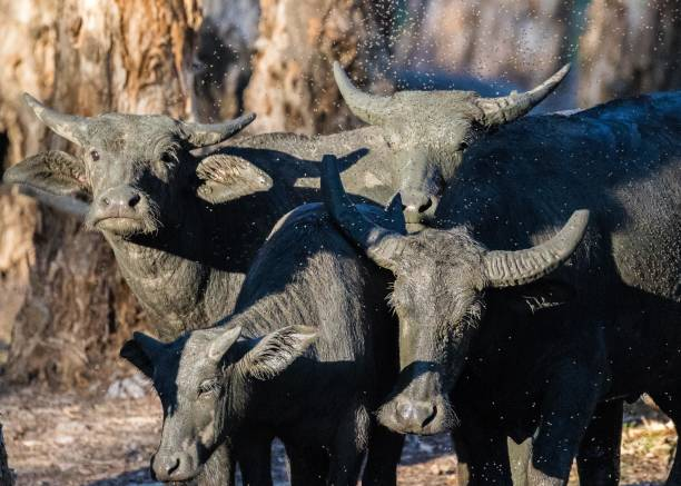 water buffalo covered in grey wet mud - janet k scott stock pictures, royalty-free photos & images