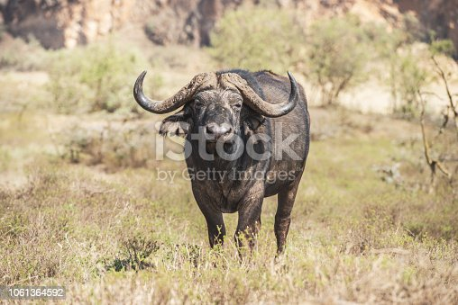 A close-up of a water buffalo in Hell's Gate National Park, Kenya