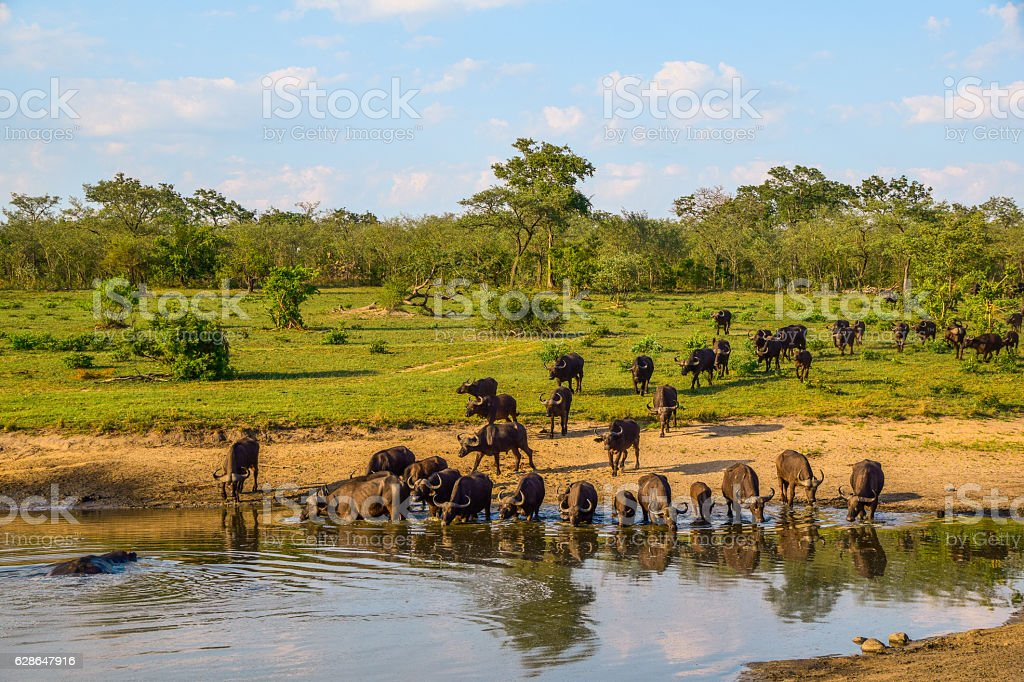 Water Buffalo Herd Drinking Water - foto stock