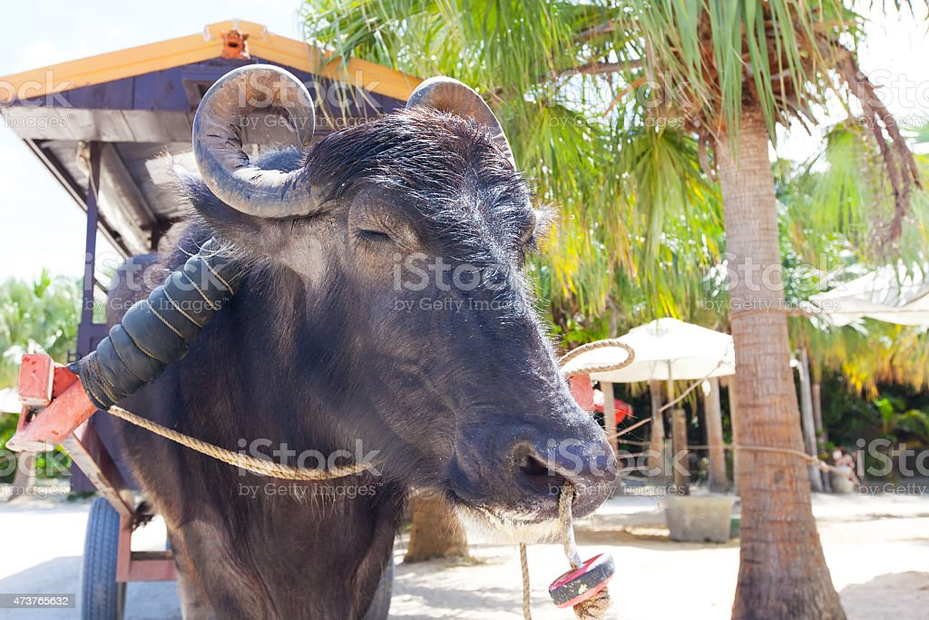 water buffalo in japan stock photo