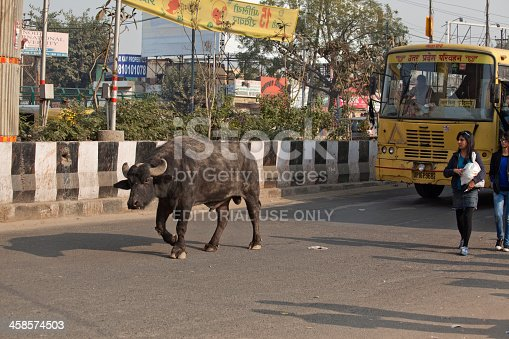 noida, india - January 14, 2012: black water buffalo and young girls are walking in front of passenger bus at street of noida new delhi india