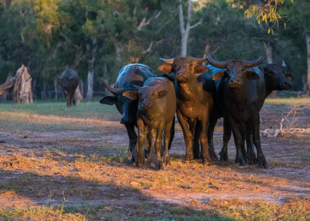 water buffalo looking for the next mud wallow - janet k scott stock pictures, royalty-free photos & images