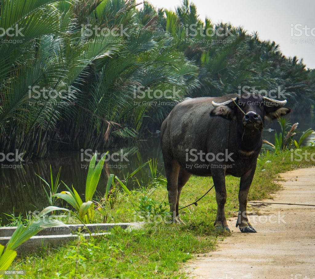 water buffalo on river bank in Vietnam stock photo