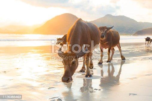 Water buffalos walking on the beach on beautiful sunset