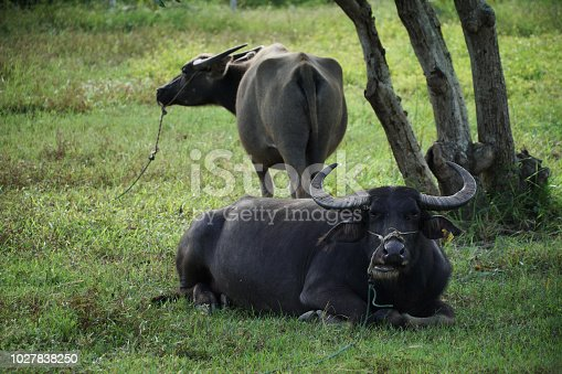 water buffalo or domestic Asian water buffalo is a large bovid originating in South Asia