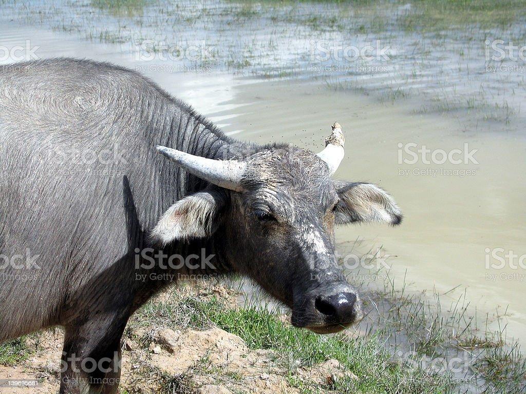 Water buffalo royalty-free stock photo