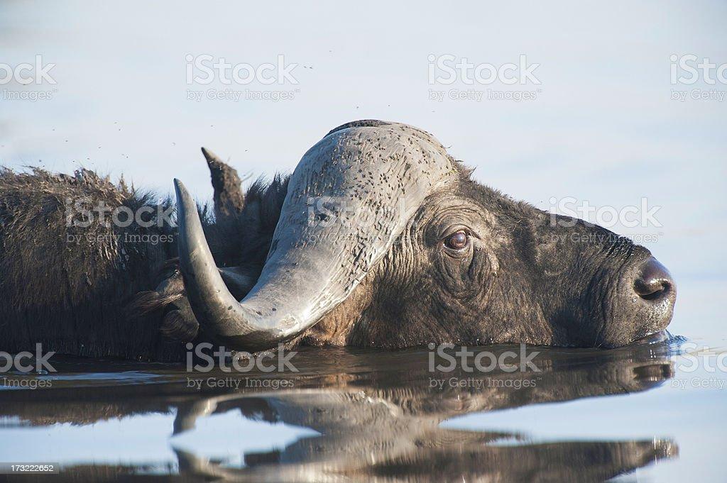 Water Buffalo stock photo
