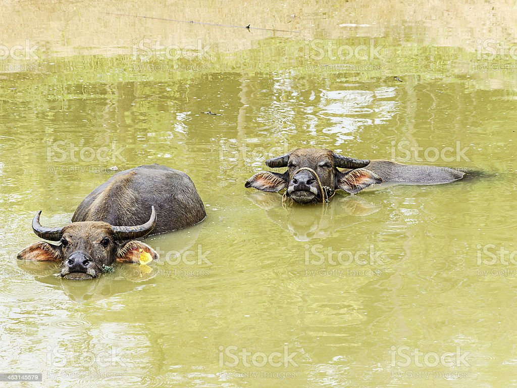 Water buffalo royalty-free stock photo