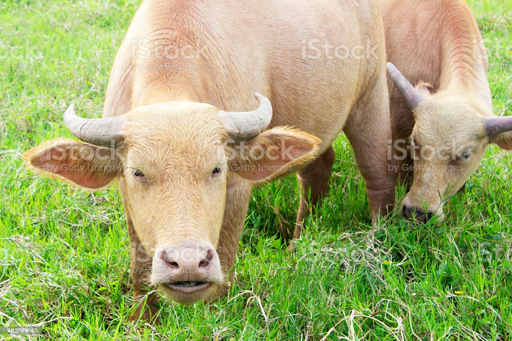 Water buffalo standing on green grass royalty-free stock photo