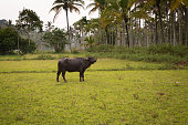 water buffalo tied with a rope standing in a field in the south of india. On the background is a palm tree forest