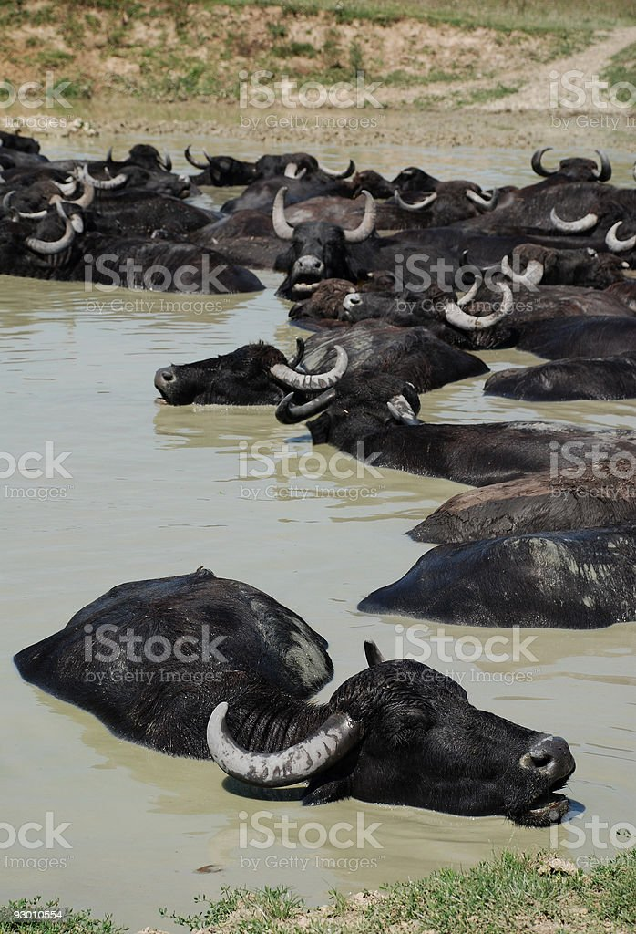 Water Buffalo Wallowing in Mud, Hungary royalty-free stock photo