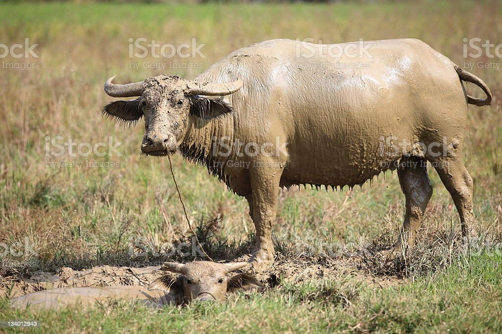 Water buffalo with her calf stock photo