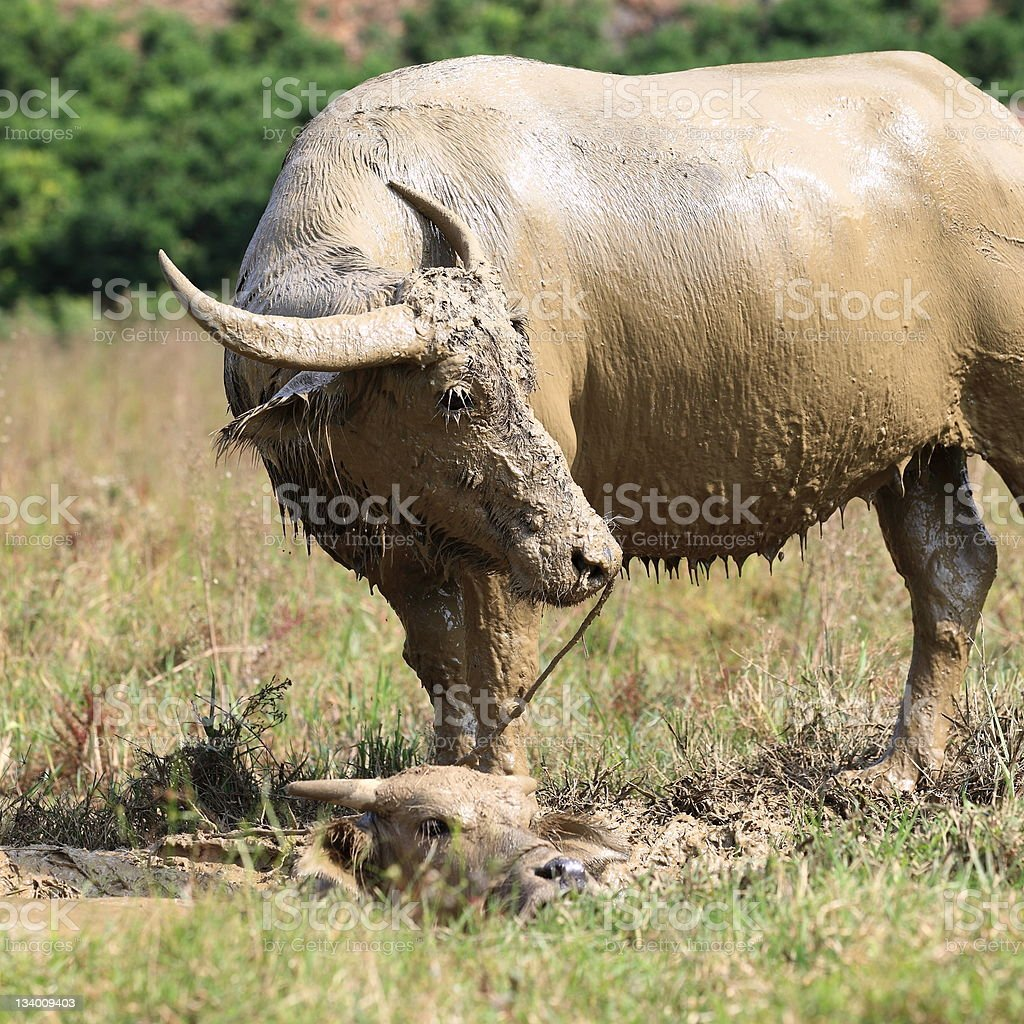 Water buffalo with mud and her calf stock photo