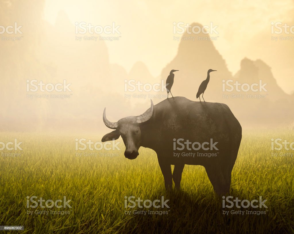 Water Buffalo With Two Egrets On Its Back - foto stock