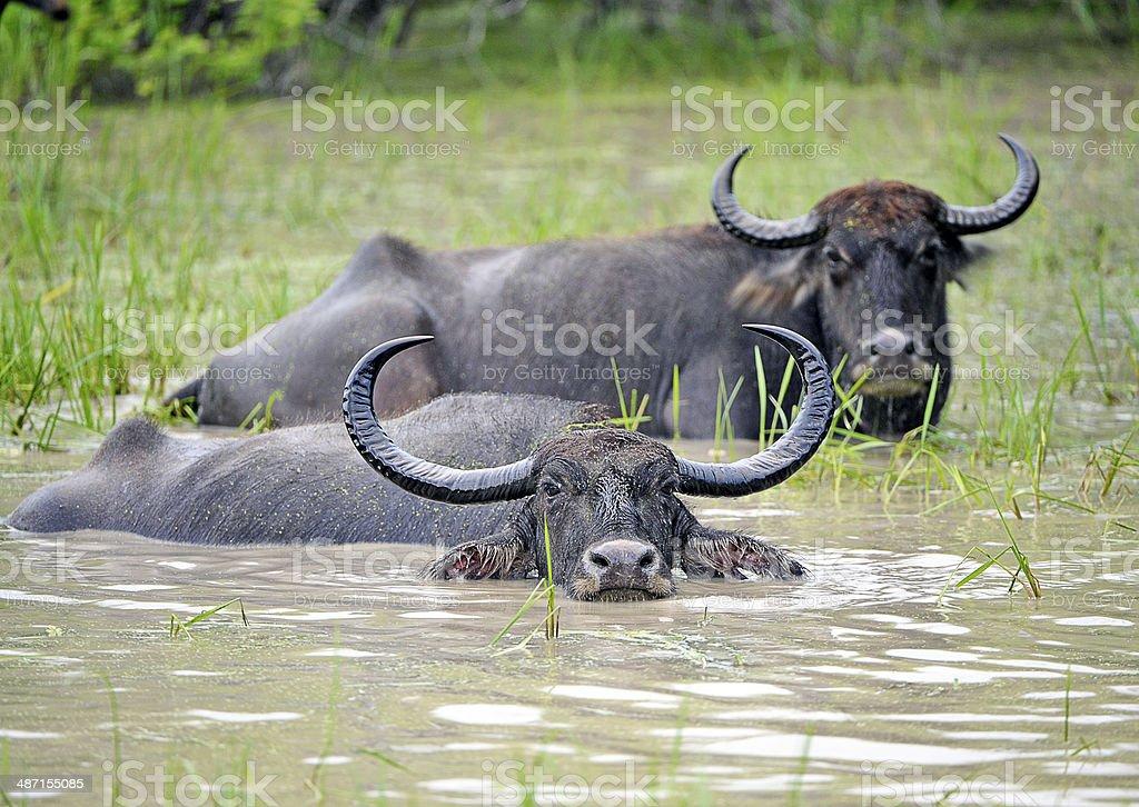 Water Buffalo, Yala, Sri Lanka stock photo