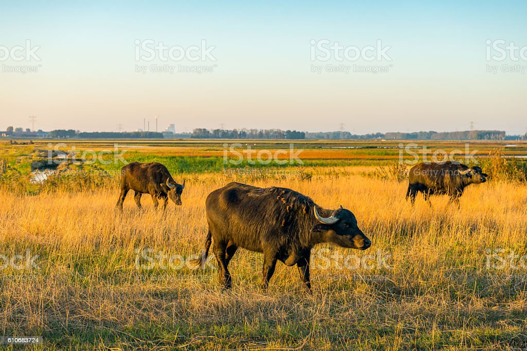 Water buffaloes graze in a nature reserve in the Netherlands stock photo
