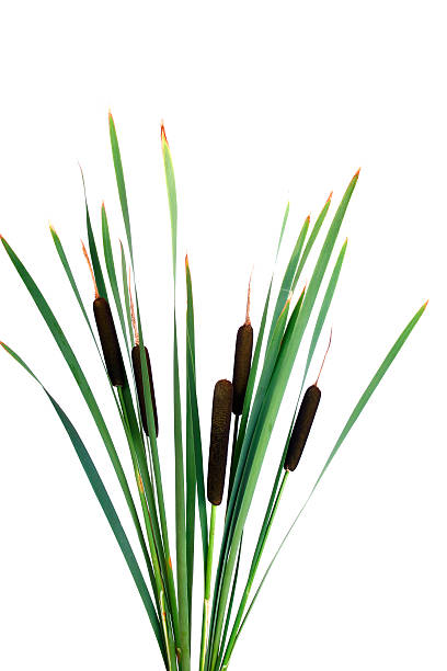 Water cattails on a white background isolated stock photo