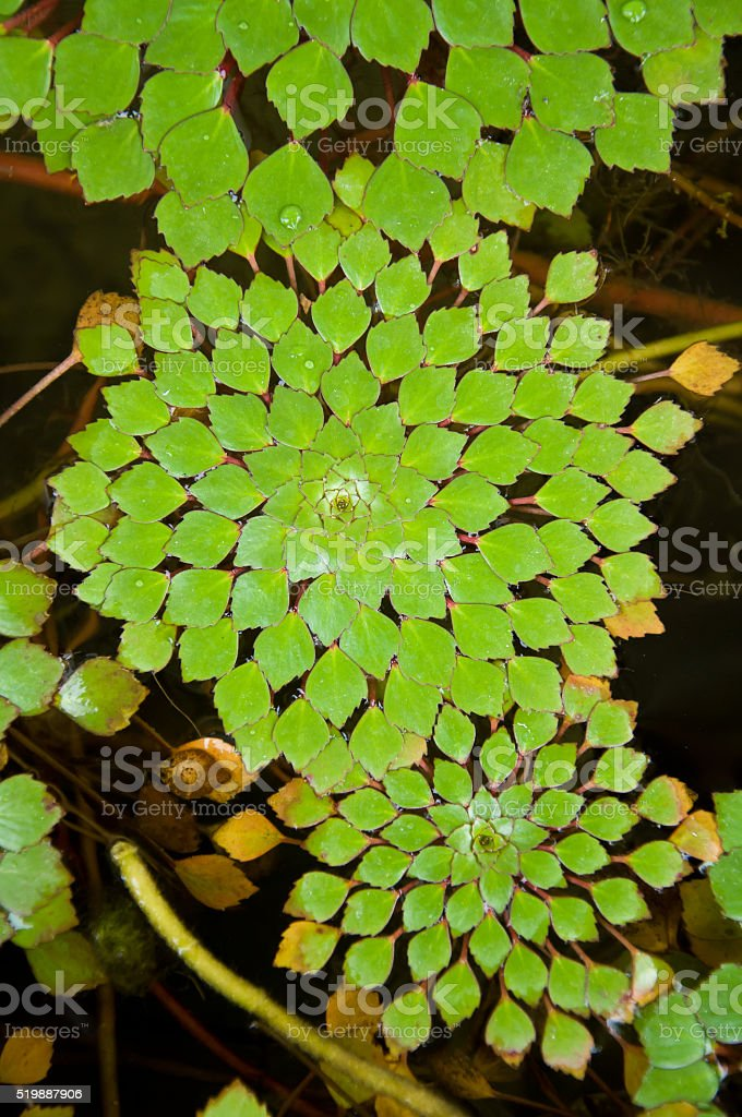 Water chestnut or Trapa Bispinosa Roxb in the water stock photo