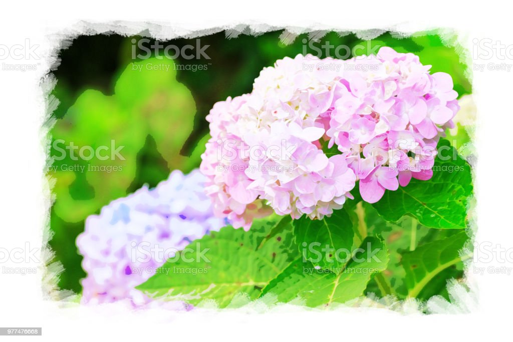 Water color of Hydrangea flowers in garden on watercolor paper, vibrant color filter effect,grunge photo style. stock photo