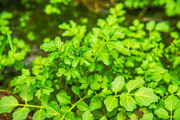 Agrião-da-terra, Chagas officinale água - foto de acervo