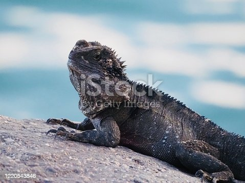 Closeup of the body of a native water dragon looking at the camera, lying on a rock in the early morning sunshine, next to the Brunswick River, Brunswick Heads NSW