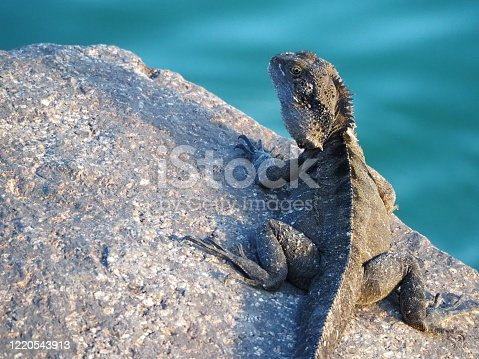 Closeup of a native water dragon lying on a rock in the early morning sunshine, next to the Brunswick River, Brunswick Heads NSW