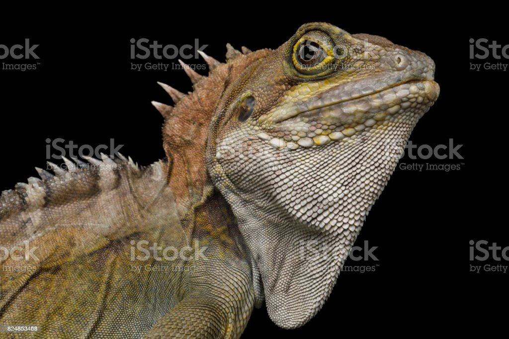Water dragon, Physignathus coconcinus stock photo