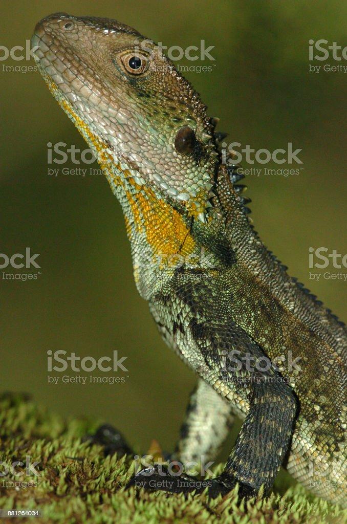 Water Dragon, Physignathus lesueuri stock photo