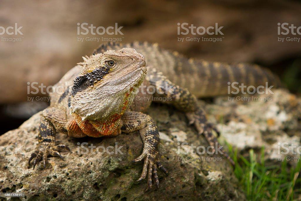 Water Dragon stock photo