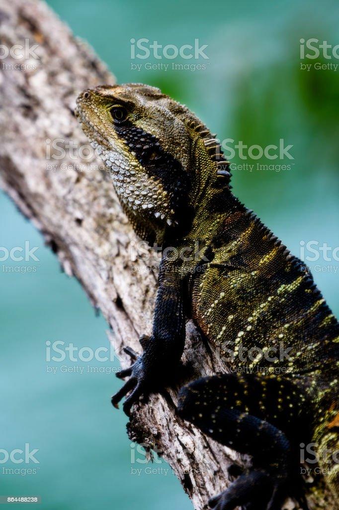 Water Dragon (lat. Physignathus lesueurii lesueurii) stock photo