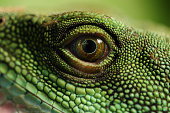 The green iguana is an invasive animal in Florida and are numerous in the Florida Keys