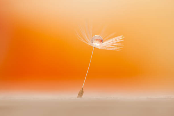 Water drop on a dandelion seed. stock photo