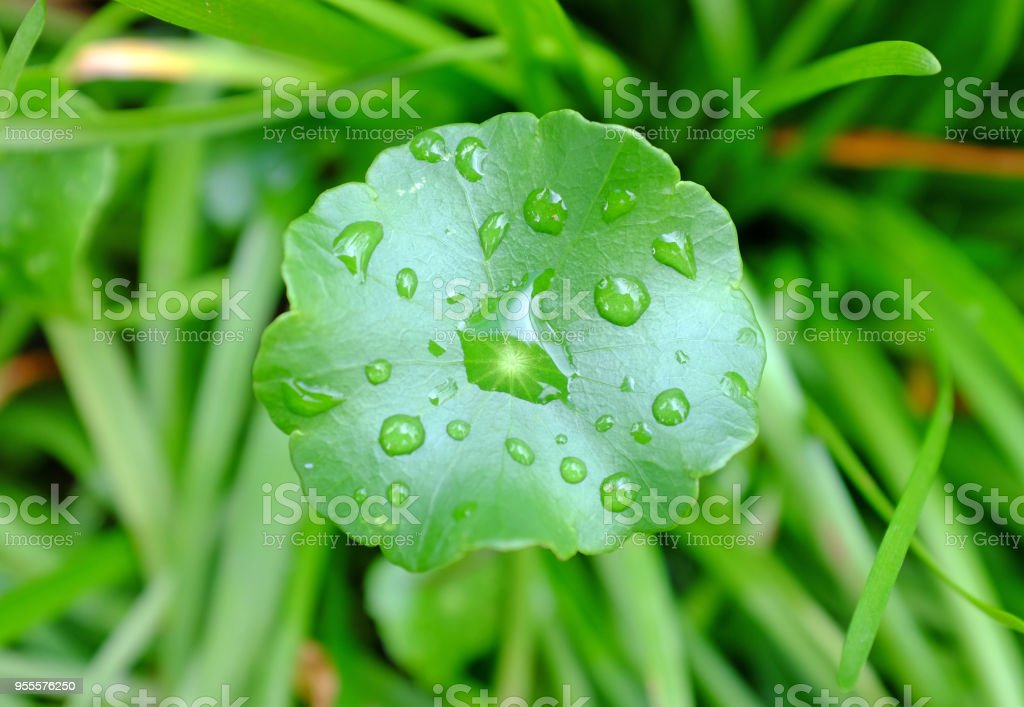 Water drop on Asiatic Pennywort, Centella asiatica. stock photo