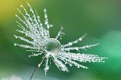 Water drop on dandelion seed