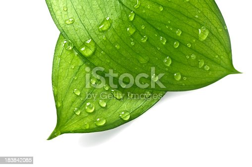 Water Drop on Leaves Isolated on White
