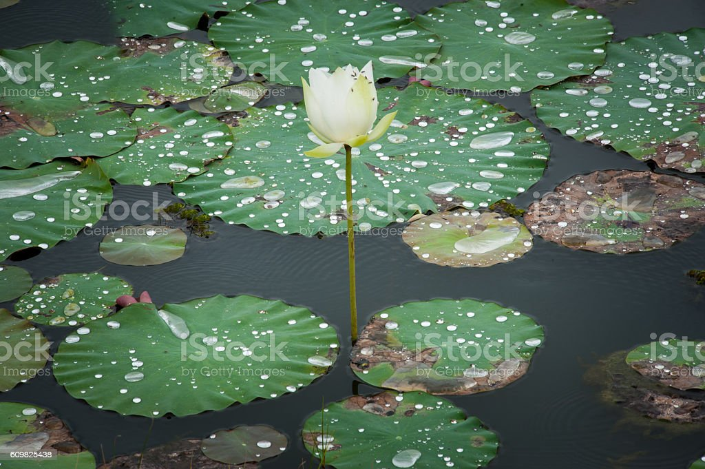 Water  drop  on  louts  leafs. stock photo