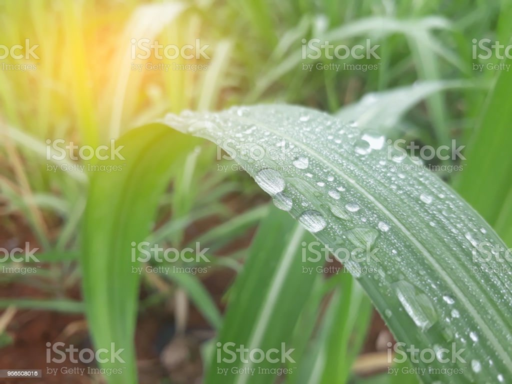 Water drop on sugar cane field with soft light.