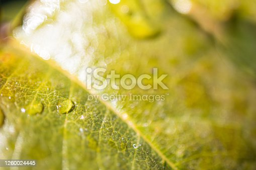 876018792 istock photo Water Drop On The Leaf And Nature Background With Beautiful Green Bokeh Circles 1260024445