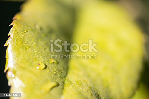 876018792 istock photo Water Drop On The Leaf And Nature Background With Beautiful Green Bokeh Circles 1260026576