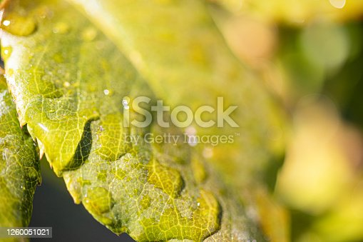 876018792 istock photo Water Drop On The Leaf And Nature Background With Beautiful Green Bokeh Circles 1260051021