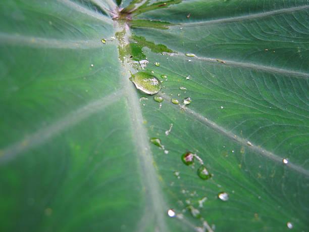 water drop on tropical leaf - fsachs78 stockfoto's en -beelden