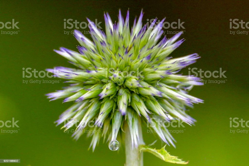 Water Droplet on Veitch's Blue Globe Thistle stock photo