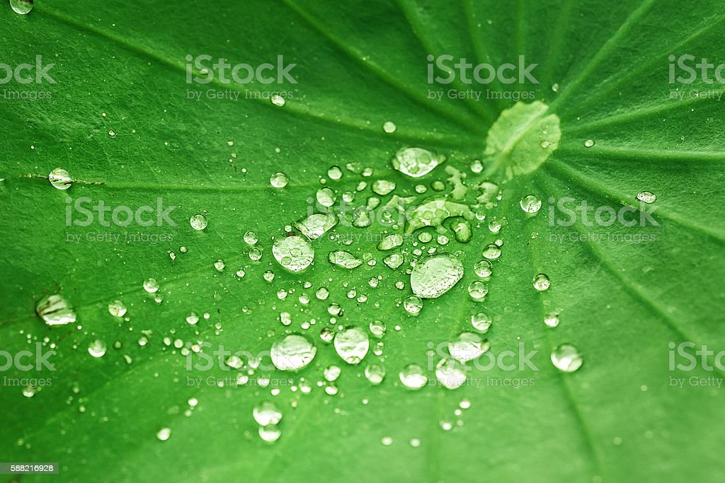 water droplets in green leaves , photo taken in summer morning stock photo