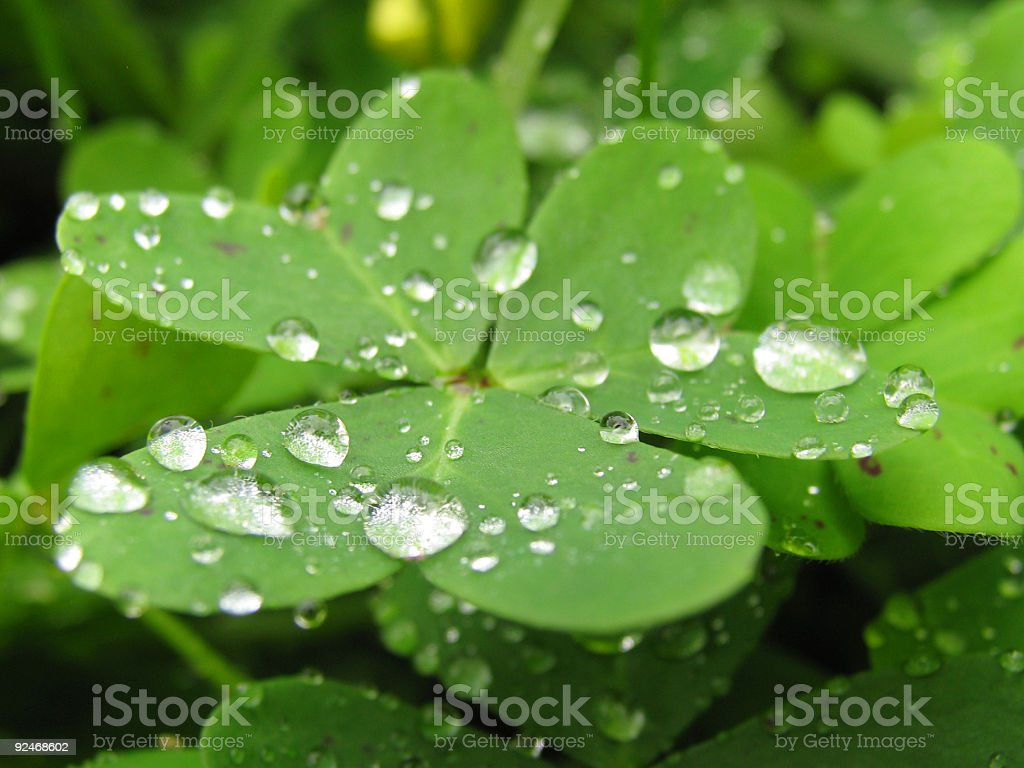 Water Droplets on a Clover in the Field royalty-free stock photo