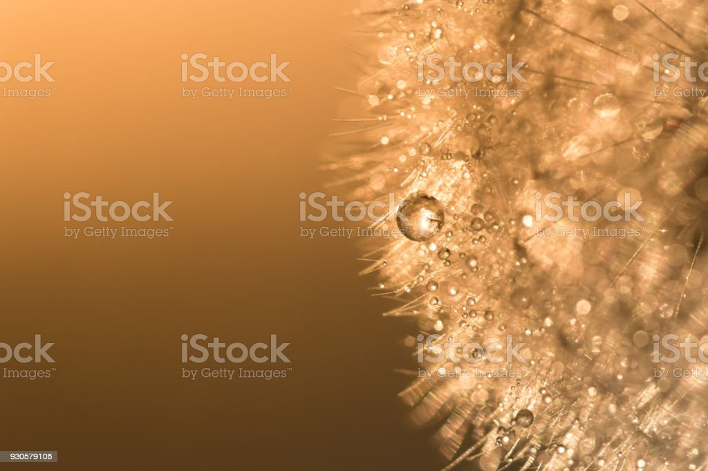 Water droplets on a dandelion with sunlight. Abstract beautiful macro of a dandelion.Dandelion at sunset stock photo