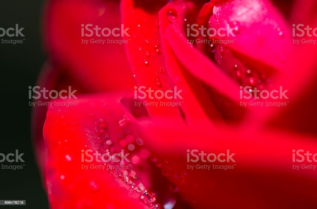 water droplets on a red rose stock photo