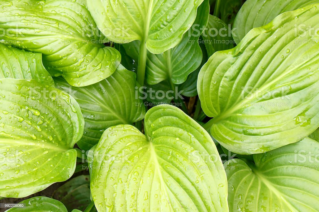 Water Droplets On Large Green Tropical Leaves Closeup Stock Photo Download Image Now Istock Don't want to provide attribution? istock