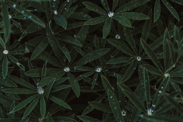 Water Droplets on Leaves - Lupine Plant stock photo