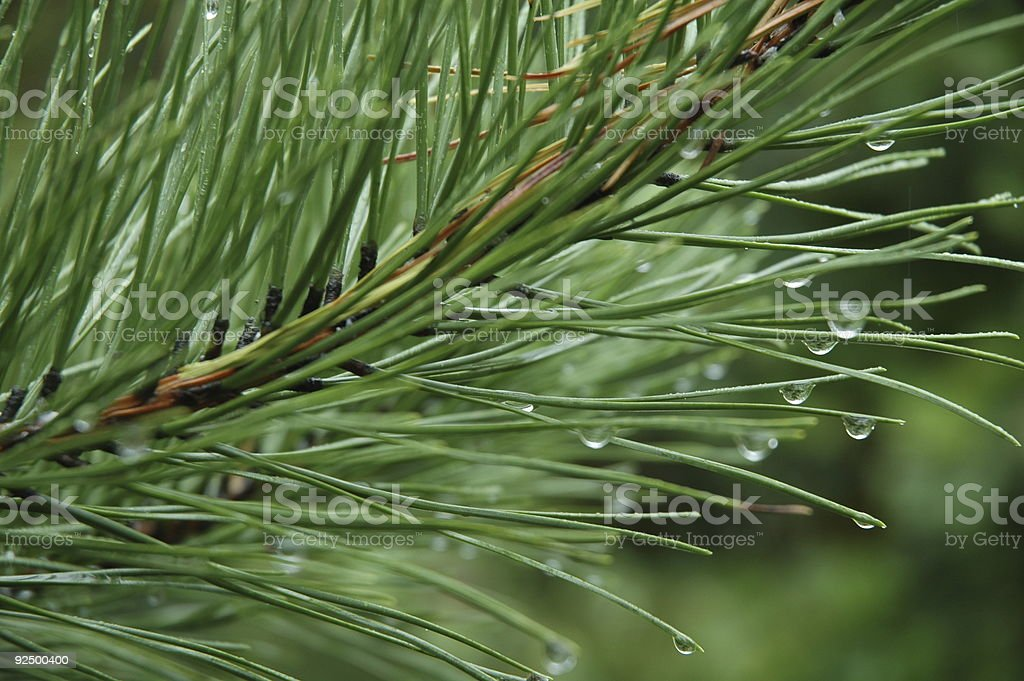 Water droplets on pine branch royalty-free stock photo