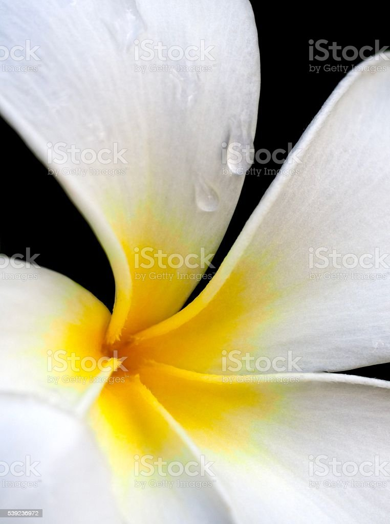 Water droplets on Plumeria royalty-free stock photo
